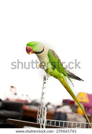 Close-up green parrot sitting outside of his cage. - stock photo