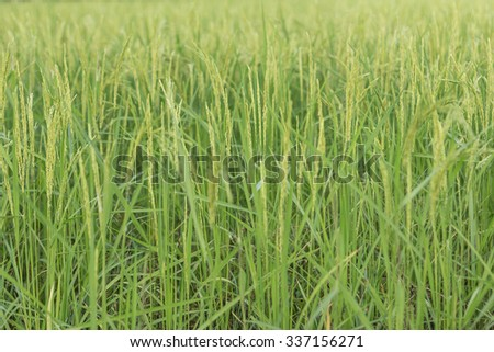 Close up green rice background - stock photo