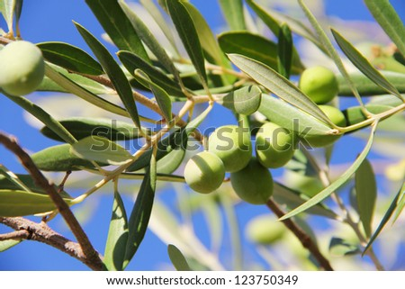 Close up green ripe olives on a tree - stock photo