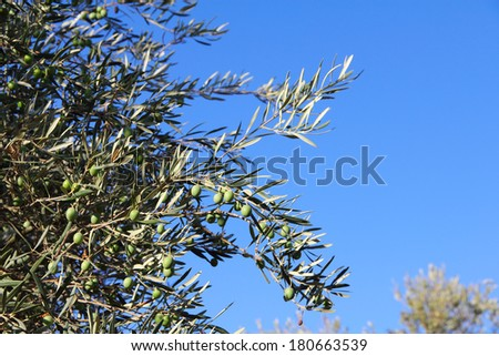Close up green ripe olives on a tree