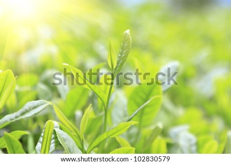 Close-up green tea bud and leaves in Tea plantations - stock photo