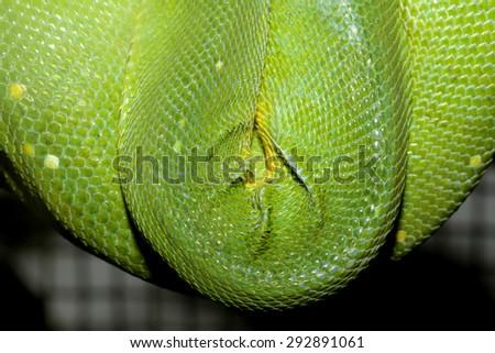 close up green tree python skin - stock photo