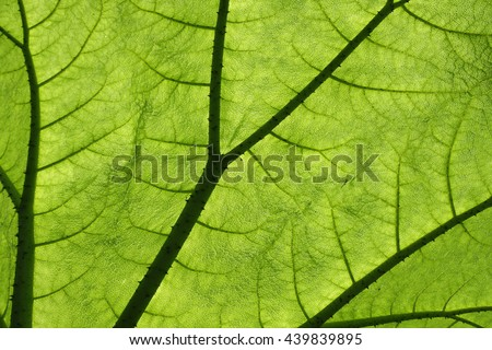 Close-up Gunnera manicata or Giant Gunnera plant leaf backlit by sunlight