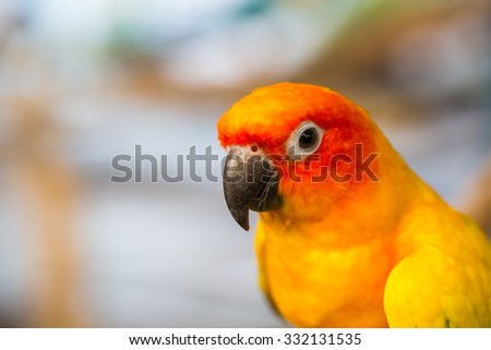 Close up head and mouse of Sun Parakeet or Sun Conure yellow and orange parrot bird - stock photo