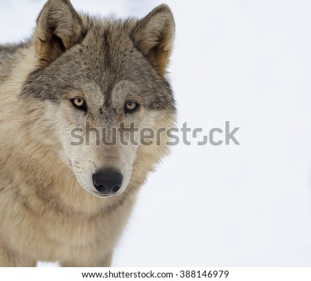 Close up head and shoulders image of a gray wolf, or timber wolf.  Shallow depth of field. - stock photo
