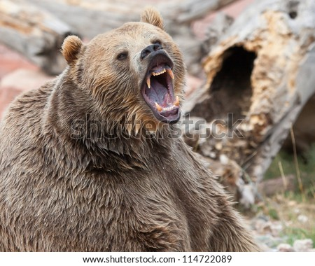 Angry Grizzly Bear Face Close up head and shoulders Grizzly Bear Face Logo