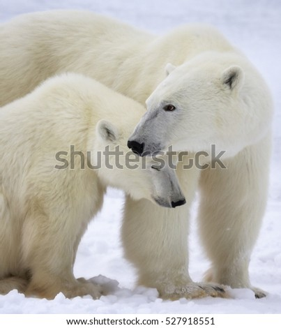Close up head and shoulders image of a polar bear sow with her cub. Churchill, Manitoba, Canada