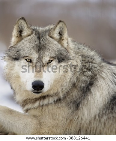 Close up, head and shoulders image of a Timber Wolf, or Gray wolf. Shallow depth of field. - stock photo