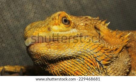 close up head bearded dragons lizard - stock photo