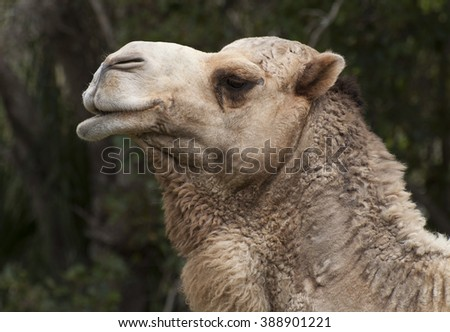Close up head of a tan colored dromedary camel against a blurred background of green trees - stock photo