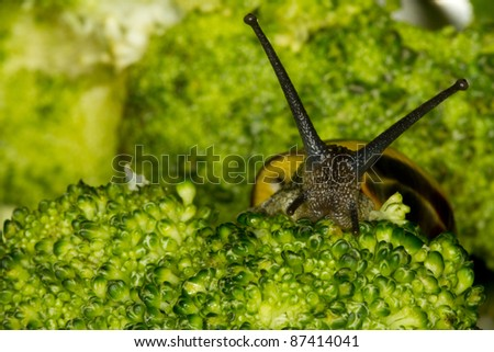 close up head of broccoli and snail - stock photo