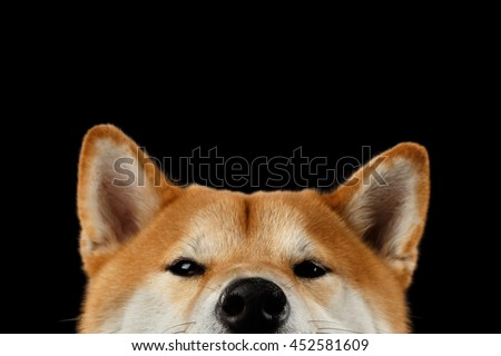 Close-up Head of peeking Shiba inu Dog, Looks Curious on Isolated Black Background, Front view - stock photo