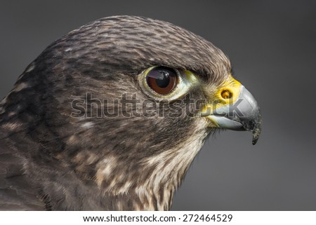Close up head portrait of a Bateleur eagle with  its face feathers displayed. Head profile against a white background  - stock photo