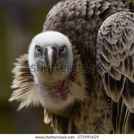 Close up head portrait of a Griffon vulture staring straight at the camera in square format - stock photo