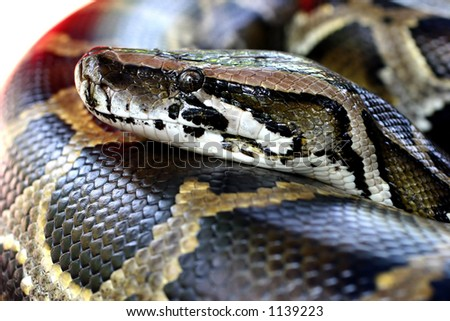 Close up head shot of a Burmese Python in a petting zoo.