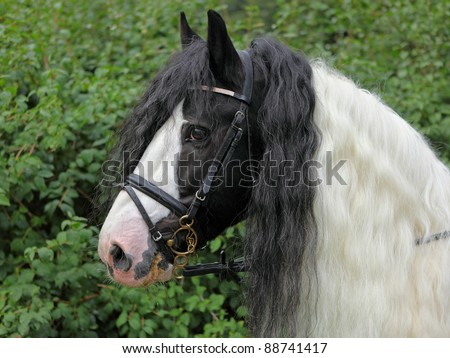 Close up head shot of a Tinker Pony (Ireland's cool dappled)