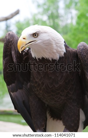 Close up head shot of an American bald eagle - stock photo
