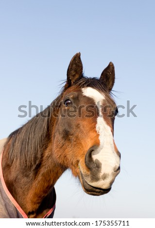 Close up head shot of beautiful elderly bay pony set against blue sky. - stock photo