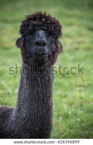 close up head shot of black alpaca in green field - stock photo