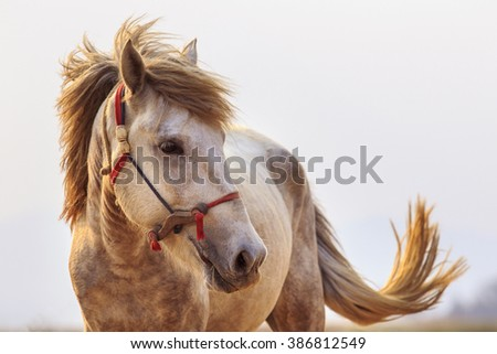 close up head shot of white horse with beautiful rim light against white background - stock photo