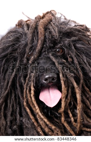 Close up head study of a Puli dog - stock photo