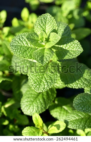 Close up Healthy Green Leaves of Aromatic Mint Plant Growing at the Garden - stock photo