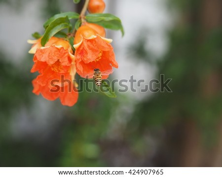 close up honey bee flying to blooming pomegranate red flower hanging on tree nature back ground in summer - stock photo