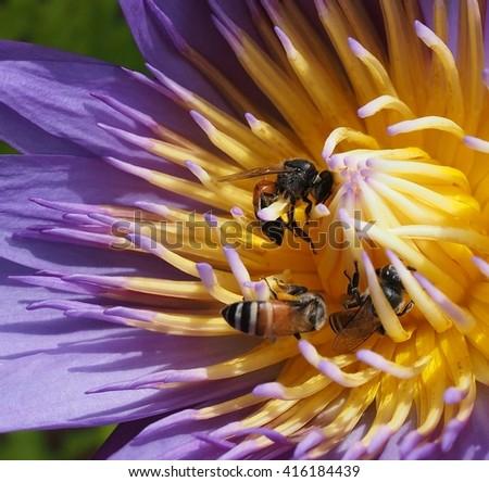 close up ,honey bees pollinating lotus flower - stock photo