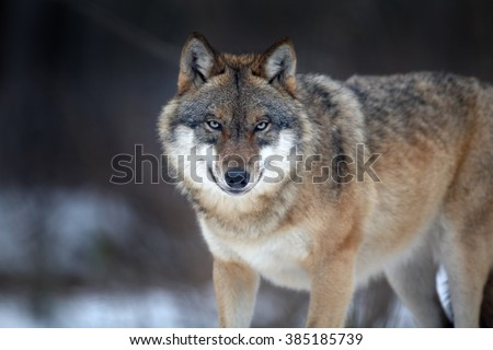 Close up horizontal portrait of Eurasian wolf, Canis lupus in winter, staring directly at camera against blurred forest in background. East Europe. - stock photo