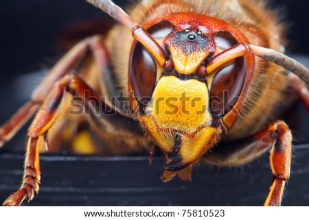 Close-up Hornet - stock photo