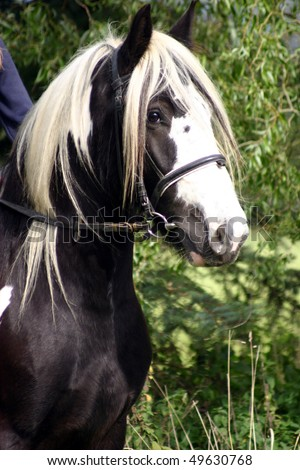 close up horse face, Irish Cob portrait - stock photo