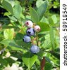 close up huckleberries growing on a bunch - stock photo