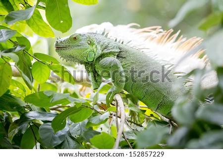 Close up Iguana - stock photo