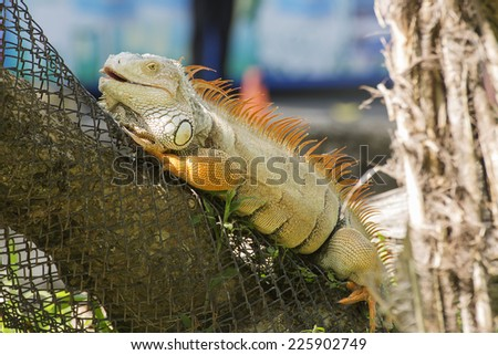 Close up Iguana standing on the wood
