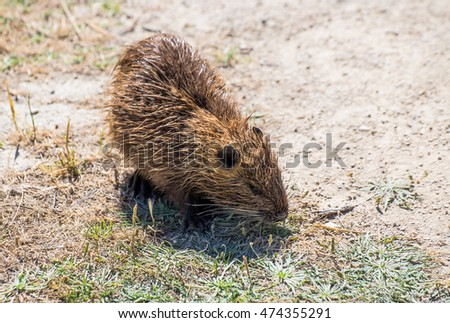 Close up image from side with a Coypu. Coypu profile image, Camargue, France