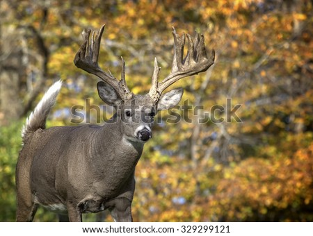 Close up image in autumn, of a big whitetail deer buck walking toward the camera. - stock photo