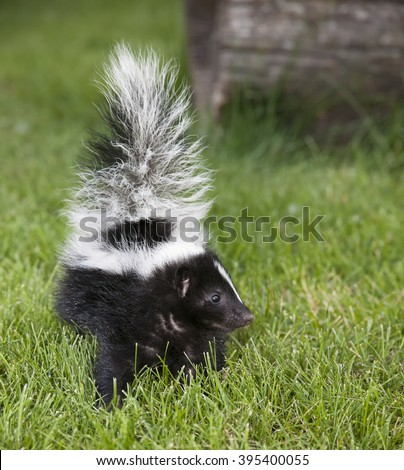 Close up image of a baby striped skunk. - stock photo