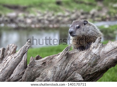 Close up image of a baby woodchuck or groundhog.  Springtime in Wisconsin