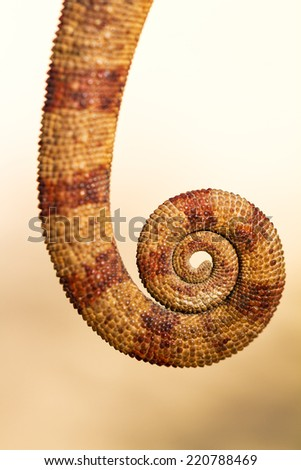 Close up image of a beautiful Chameleon's tail in Madagascar - stock photo