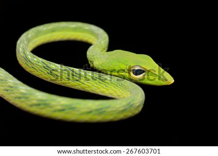 Close-up image of a big eyed green whip snake