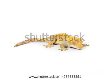 Close up image of a crested gecko - stock photo