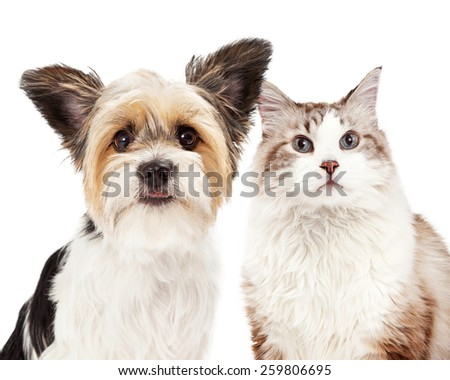 Close-up image of a cute Yorkshire Terrier mixed breed dog and a cat together - stock photo