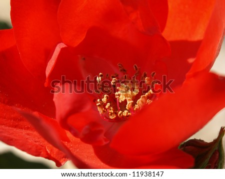 close-up image of a garden red rose