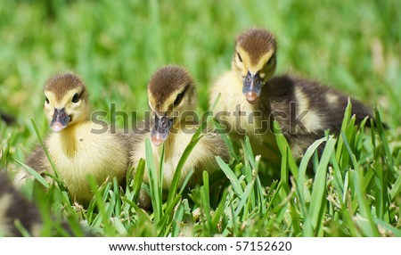 Close up image of a group of baby ducks  in the grass in the sunshine, focus is on the two in front. - stock photo