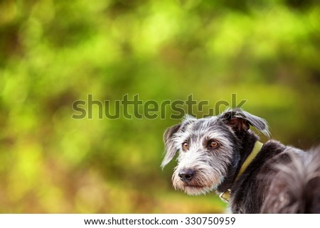 Close-up image of a mixed breed terrier dog with a scruffy grey coat standing outdoors with an attentive expression. Blurred background of lush green treees. - stock photo