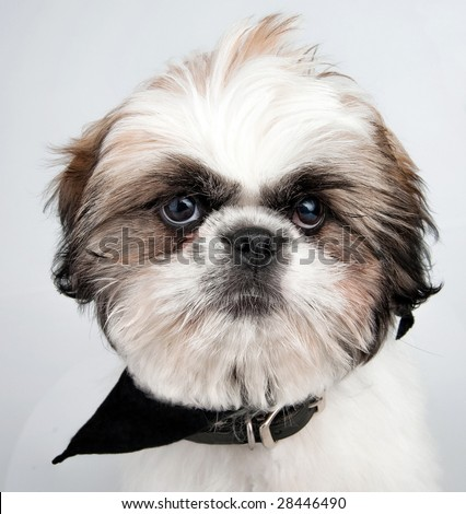 Close-up image of a 4 month old Shih Tzu puppy with attitude. - stock photo