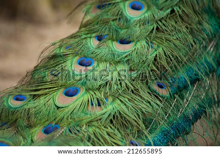 close up image of a peacock's feather with all the beautiful color. - stock photo