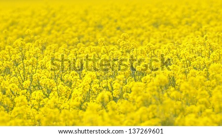 Close up Image of a rapeseed field.Selective focusing shot of a blooming rapeseed field at spring.Rapeseed field closeup - stock photo