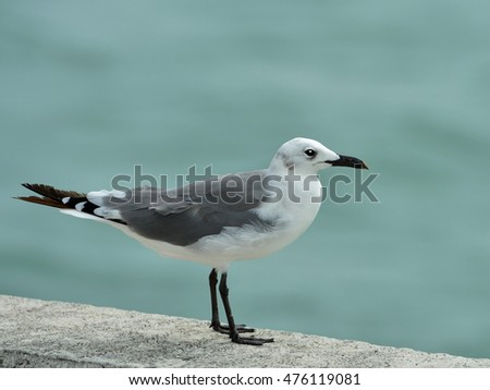Close up image of a Seagull bird (Larus canus) standing on a seawall against soft blue water background.