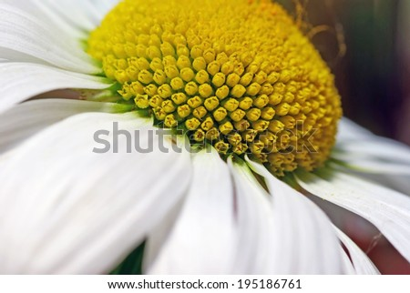 Close up image of a summer flower with white and yellow - stock photo